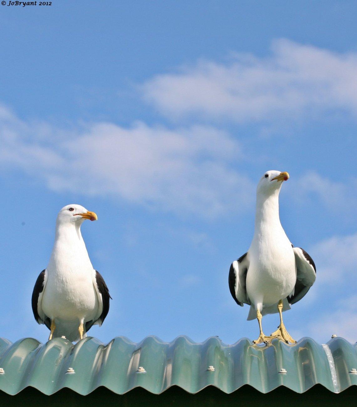 Black-backed gulls