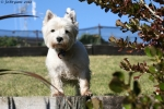 White Scotty Terrier