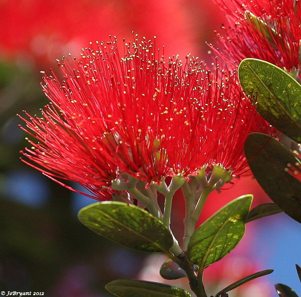 pohutukawa tree flowers