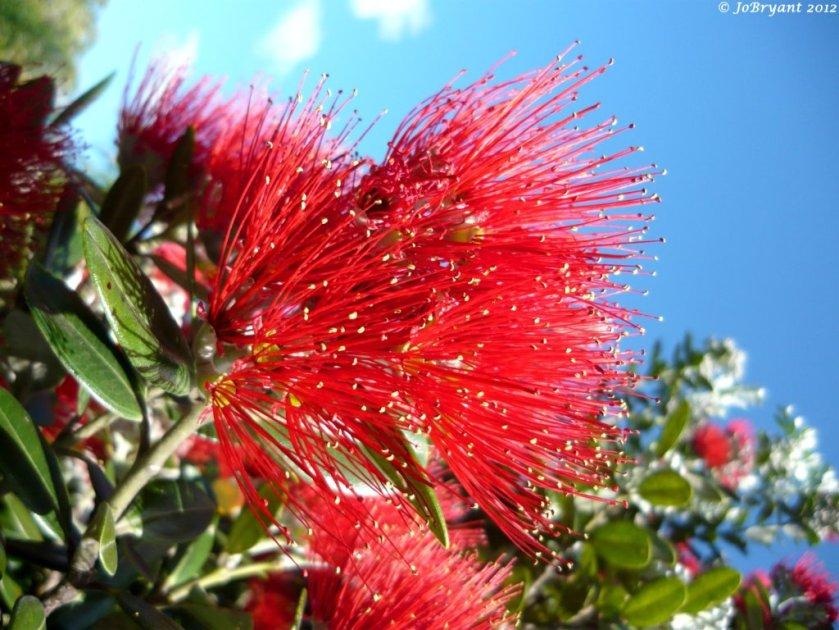 pohutukawa tree flower