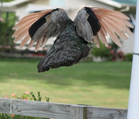 Peacock taking off - Katikati