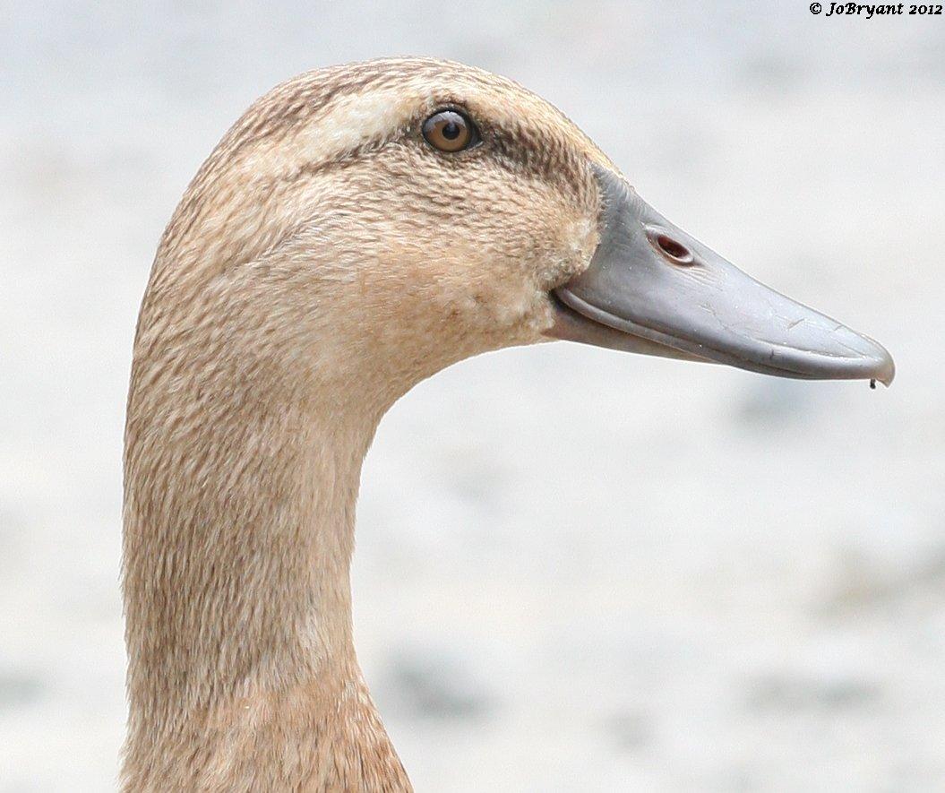 Duck's eye