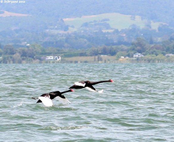 flying black swans