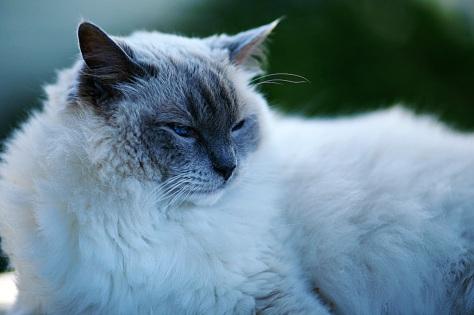 American Ragdoll Cat