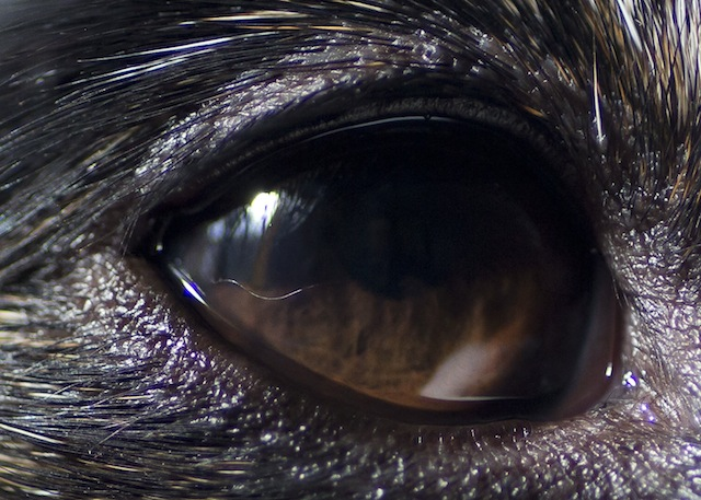 fox terrier eye