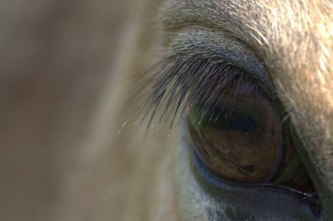 The beautiful lines of the eyelashes frames the patterns of the reflected grass in the eye.
