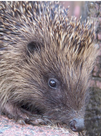 Baby hedgehogs squeal when Chevvy appears.