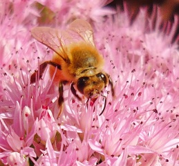 Bees...under threat here sadly.