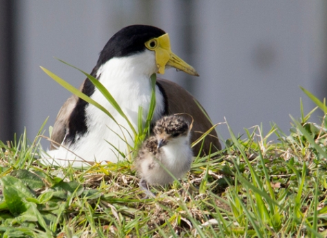 Spur Winged Plover and chick.
